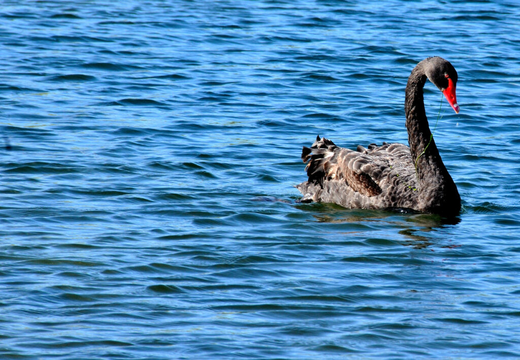 The Black Swan Is Dead – The Case for Operational Resilience (Part 1)